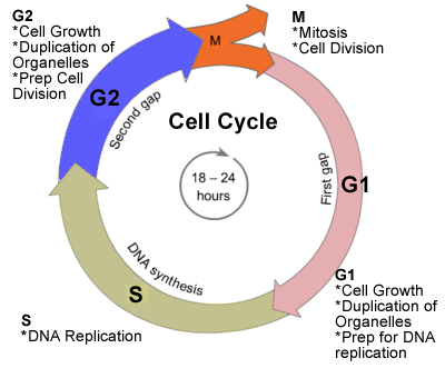 Plant Cell Cycle Diagram furthermore Mitosis Cell Cycle likewise Cell ...